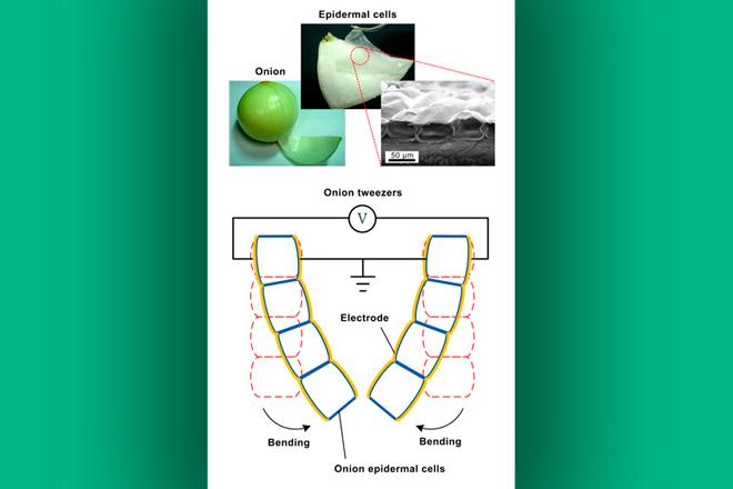 Concepto de músculo artificial desarrollado a partir de las células epidérmicas de cebolla. Fuente: Shih Lab, Universidad Nacional de Taiwán