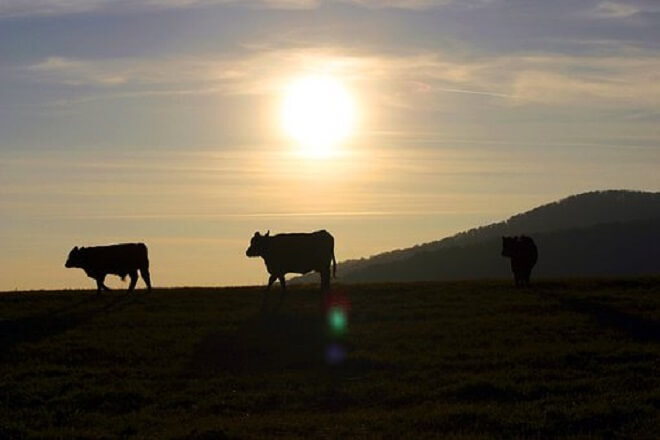 Collares inteligentes monitorean a través de una app el comportamiento de la vaca