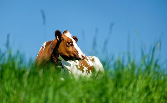Collares inteligentes para vacas