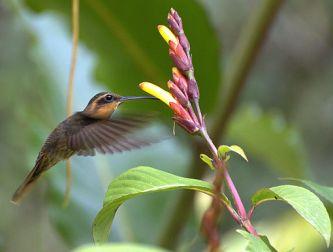 पीछे की ओर उड़ने वाला पक्षी कौनसा है piche ki or udne wala pakshi konsa hai