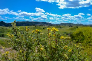 Prairie wildflowers in Theodore Roosevelt National Park