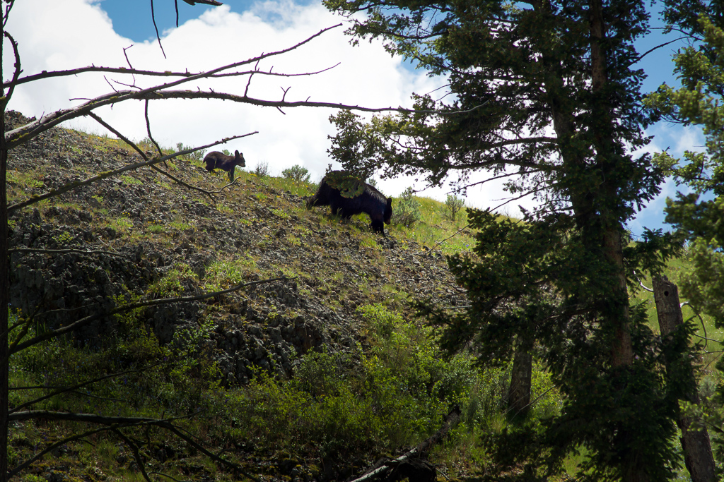 Black bear sow and her cub, Tower Fall, Yellowstone National Park