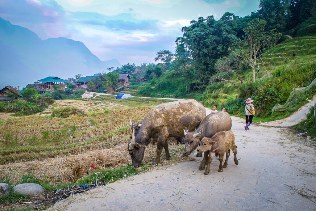 Water buffalo in Ta Van village