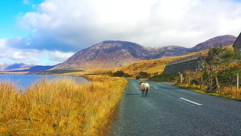 Ireland road trip, sheep