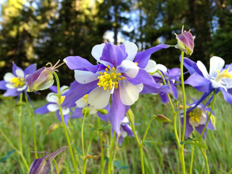 Columbines near Slough Pond, Golden Gate State Park, CO.
