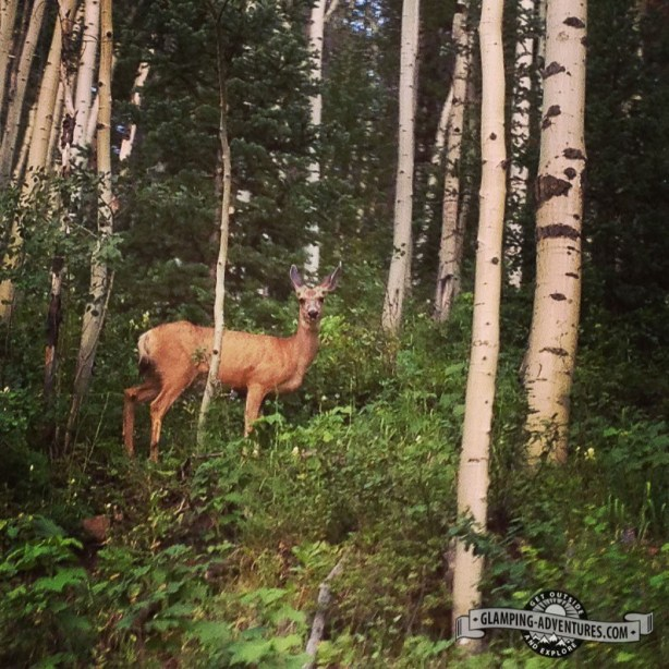 Lots of dear in Piney Lake, Vail CO.