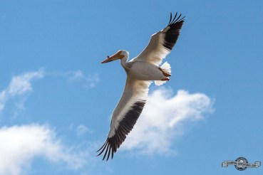 Pelican flying overhead.