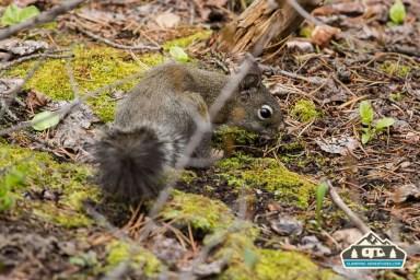 Pine Squirrel. CO Trail. Kenosha Pass, CO.
