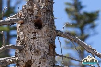Mountain Blue Bird Nest. Pawnee CG.