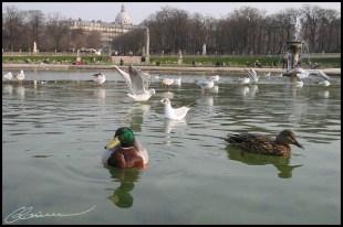 Je n'ai que mes archives d'images. Coin-coin. (Bassin central des Jardins du Luxembourg,Paris, février 2003.)