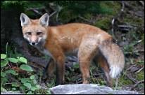 Foxy guest. (Cacouna, Québec, août 2009)