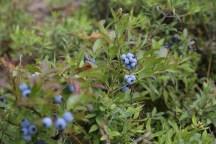 Mioum! Plein de bleuets à l'entrée du territoire de la ville de Dolbeau