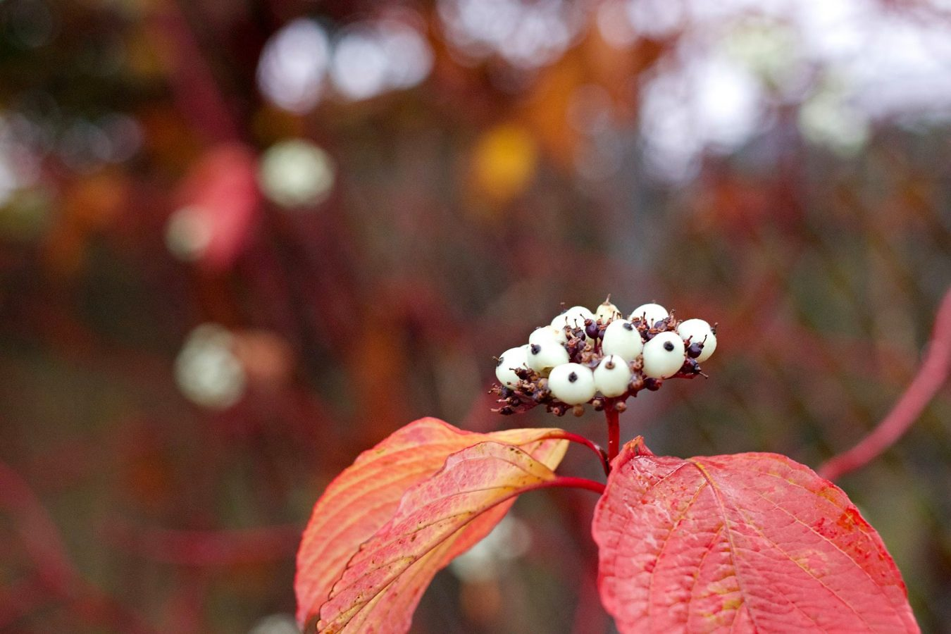 White berries, red leaves.