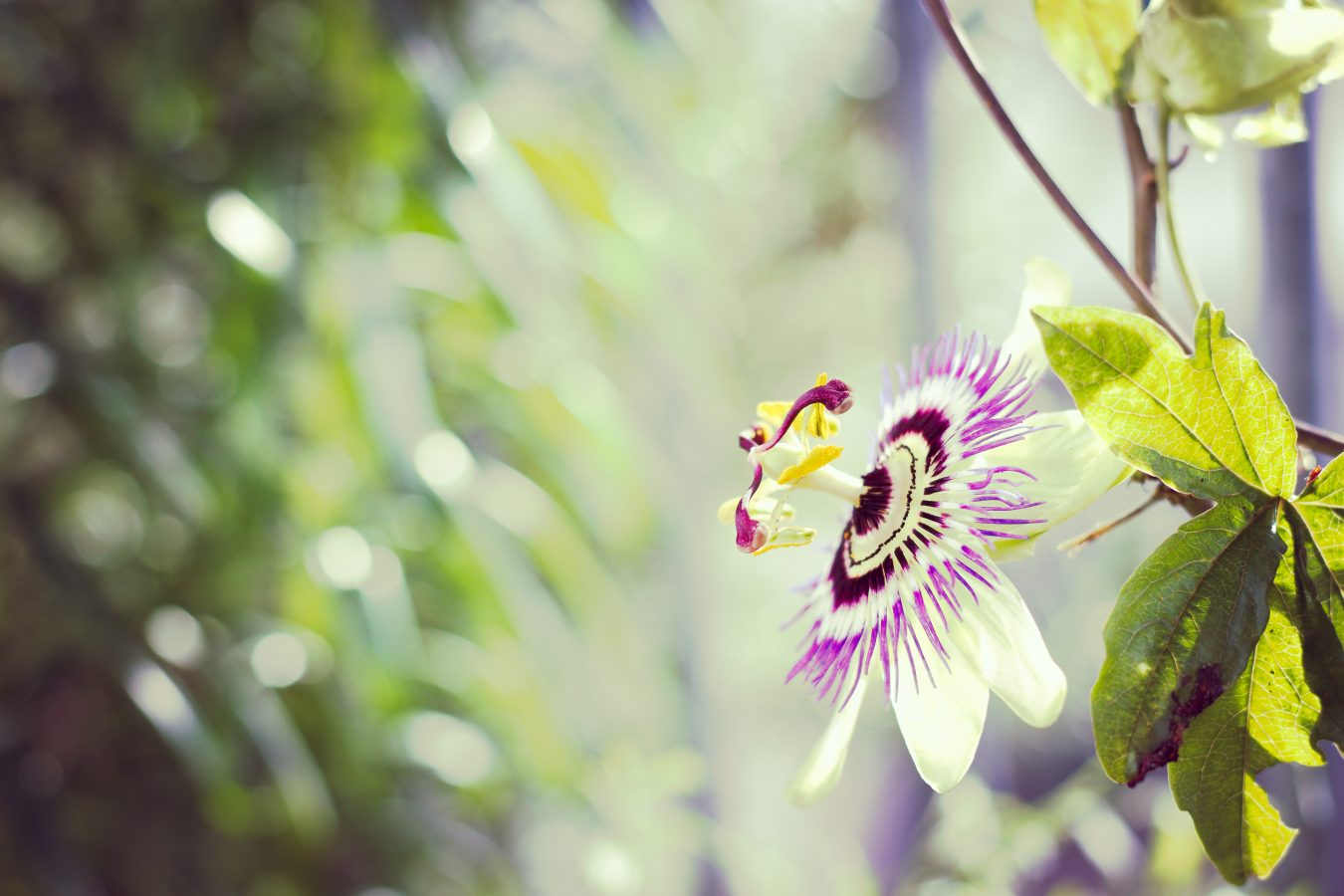 Passion Flower on Pat's balcony.
