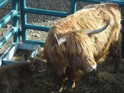 Dumyat Calf