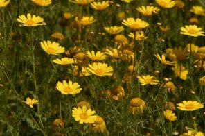 yellow daisies spetses