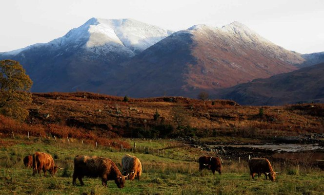 Highland Cattle and Ben Starav. Loch Etive.