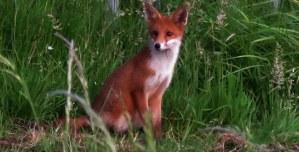 Fox Cub.Glasgow