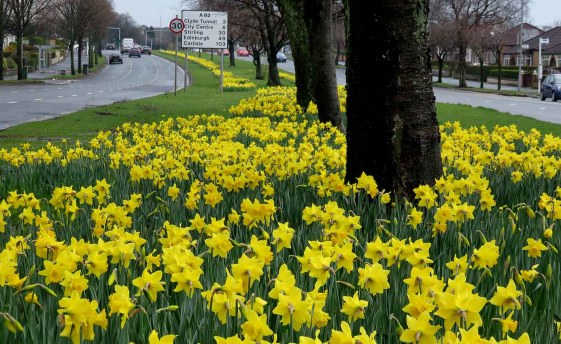 Golden Glory. Great Western Road in Spring