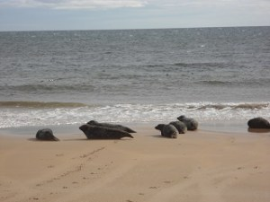 brora-grey-seals