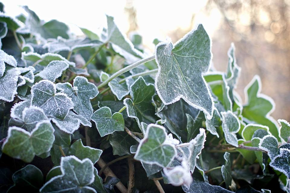frosty holly jim