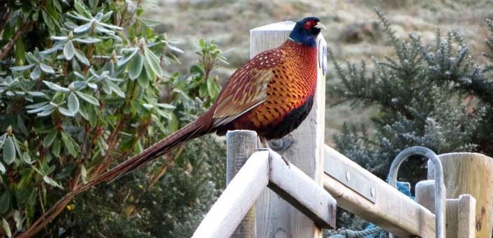 A Male Pheasant