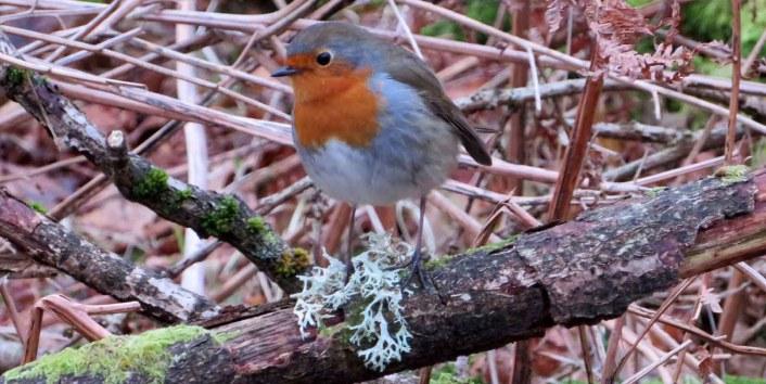 Bobbing Robin
