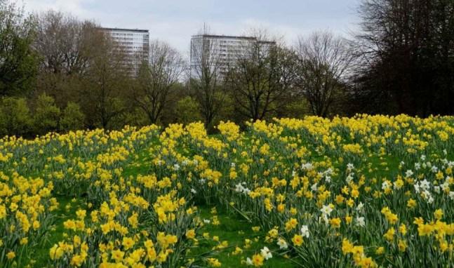 daffodils glasgow