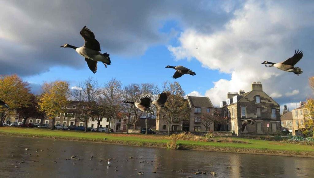 Canada Geese in Flight. River Esk.