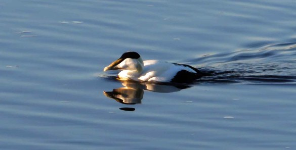 Eider Duck. Winter Plumage