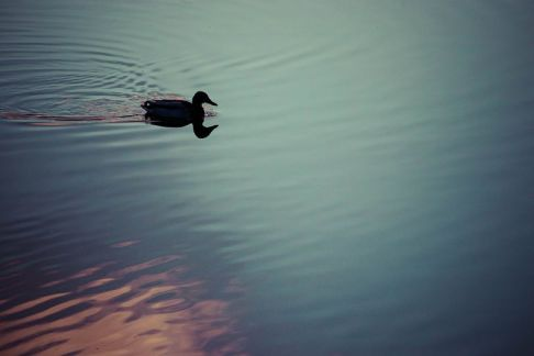 duckling in the gloaming jim