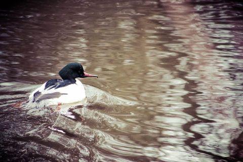 wetlands diving duck jim