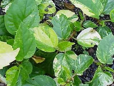 Hibiscus Rosa Sinensis General Corteges Variegatus