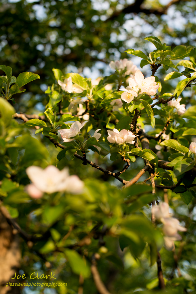 Apple Blossoms by Joe Clark www.glasslakesphotography.com