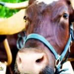 Two bovines pull farming equipment at the Point Oneida Fair by Joe Clark glasslakesphotography.com