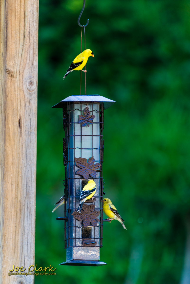 Finches2 northern michigan photographer Joe Clark