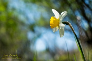 Spring Daisy in Ludington. By Joe Clark.