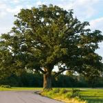 Bur_Oak_Quercus_macrocarpa