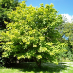 Striped maple Acer