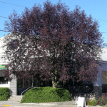 chokecherry