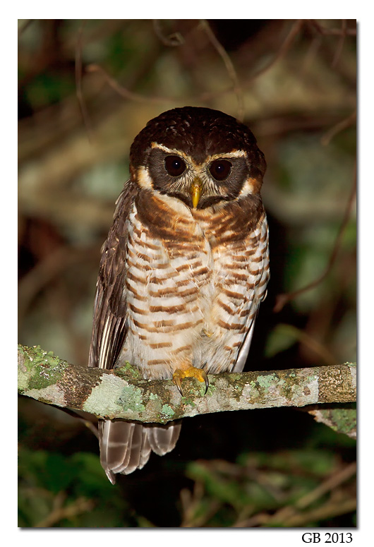 Band Bellied Owl