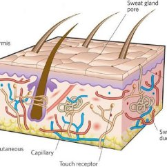 7 Layers Of Skin Diagram 99 Ford Explorer Xlt Radio Wiring The Middle School Great Installation Curfman Domenic 4th Grade Health Rh Glenridge Org Integumentary System