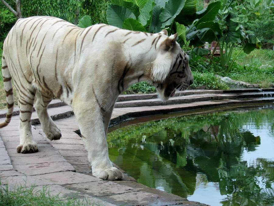 Bali Indonesia: MONKEYS, PYTHONS AND TIGERS (8)