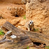 Dallas-Zoo-meerkat-thumbnail
