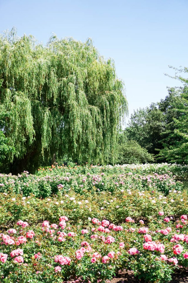 Queen Mary's Rose Gardens in London in June via lifestyle blogger, Glitter & Spice