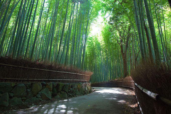 Sagano Bamboo Forest at Arashiyama, Kyoto, Japan