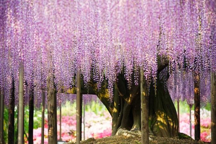 wisteria tree in the world