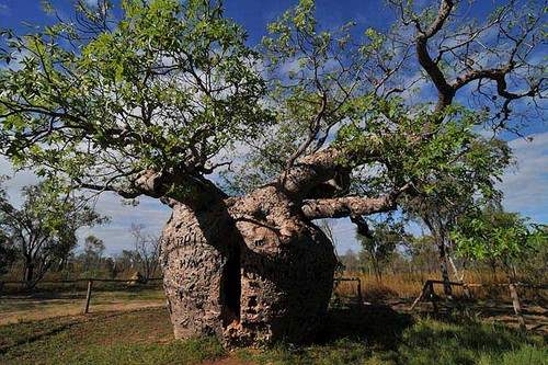 Giant Boab and Prison Boab Popular Trees