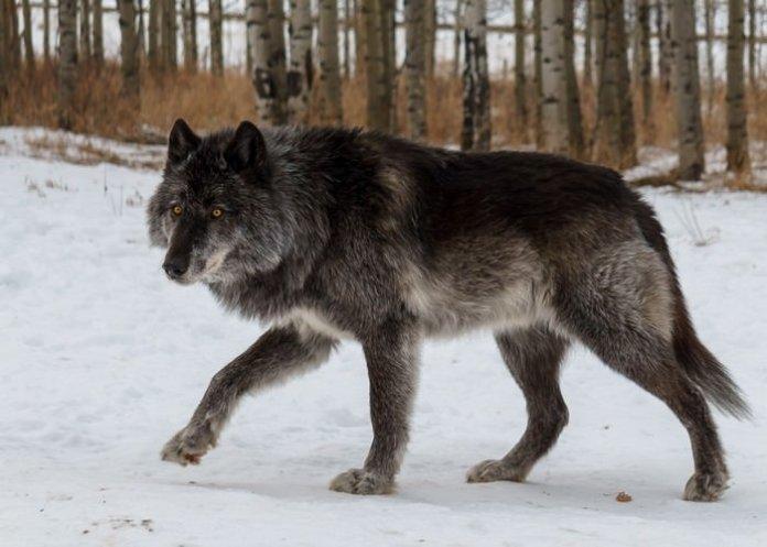 wolfdog alpha