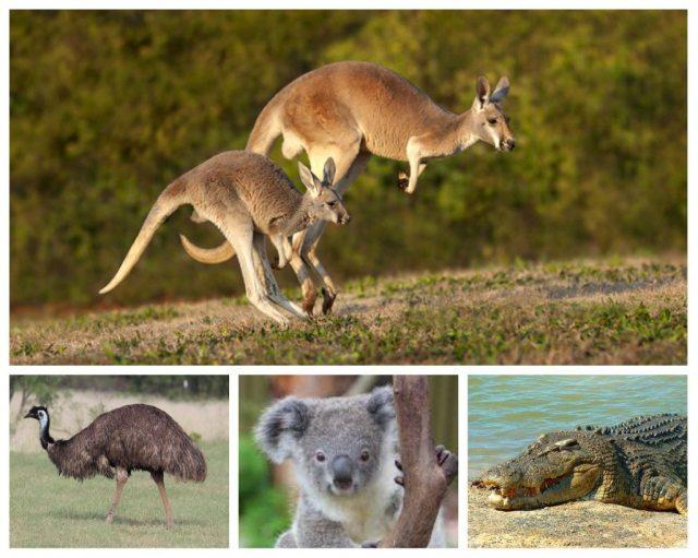 Australian wildlife animals collage